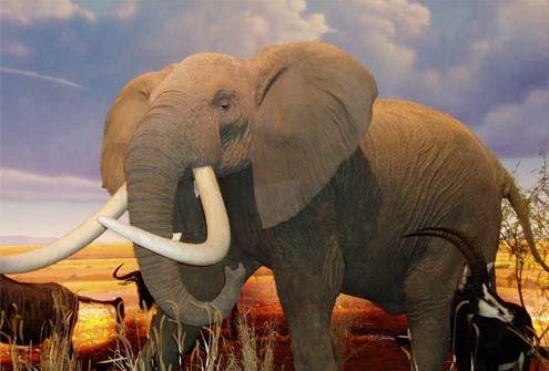 Frank ZItz Elephant
