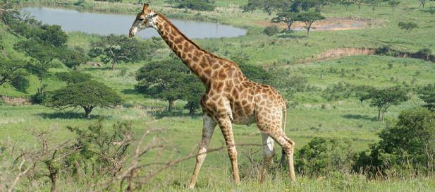Giraffe(3)